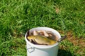 big fishing catch in a bucket with water on meadow grass. poster