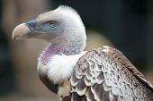 Portrait of a Ruppell's Griffon Vulture (Gyps rueppellii) poster