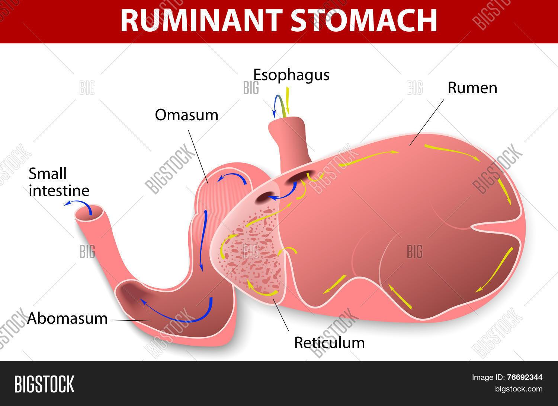 Ruminant Stomach Vector Photo Bigstock