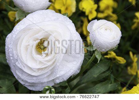 Ranunculus Asiaticus White