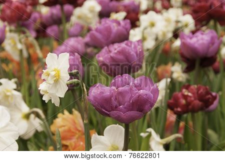 Tulips And Wild Daffodils