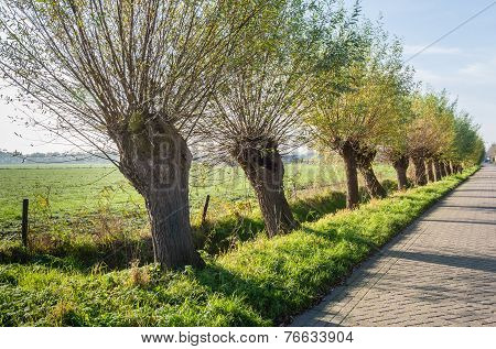 Row Of Pollard Willows In A Street