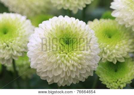Chrysanthemum flowers,closeup of green with white Chrysanthemum flowers in full bloom