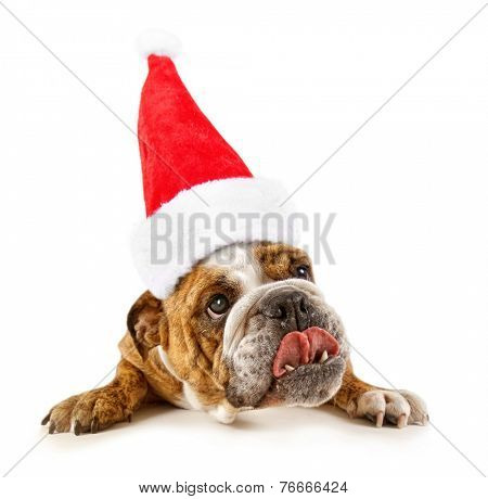 a big bulldog begging on a white background with a santa hat on for christmas