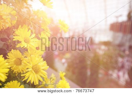 Beautiful yellow dahlia flower background with soft evening lighting