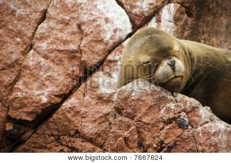 Sea Lion