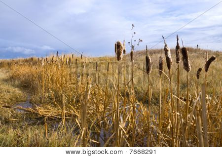 Swamp Reeds on the Prairie