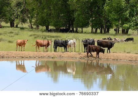 Water Cattle