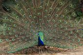 Peacock or peafowl or showing its colours to attract a female poster