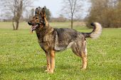 German shepherd on the green grass in the spring park poster