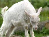 Small white goat cub on farm eating grass poster