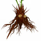 The coralloid roots contain symbiotic cyanobacteria , which fix nitrogen and, in association with root tissues, produce such beneficial amino acids as asparagine and citrulline. poster