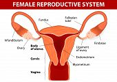 Human anatomy. female reproductive system. Uterus and uterine tubes. Vector diagram. poster