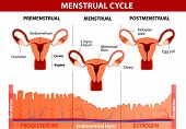 Menstrual cycle. Menstruation, Follicle phase, Ovulation and Corpus luteum phase. Vector diagram poster