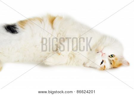 White Cat With Russet  Stains