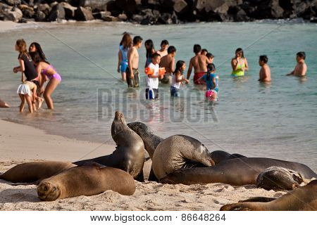Beautiful sea lions sunbathing unscared on the beach close to tourists in San Cristobal, Galapagos I