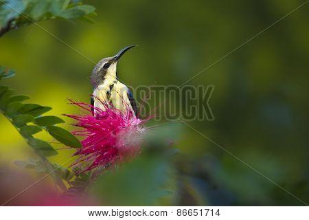 Nectarinia asiatica, female purple sun bird, Nepal