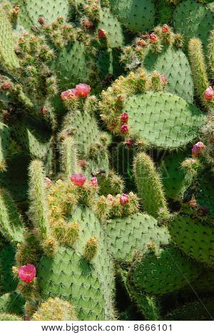 Cactus Leaves With Spines Are Covered With Pink Flowers And Buds