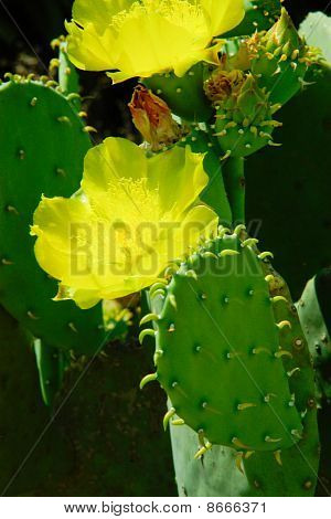 Very Beautiful Cactus Flowers And Fleshy Cactus Leaves With The Spines.