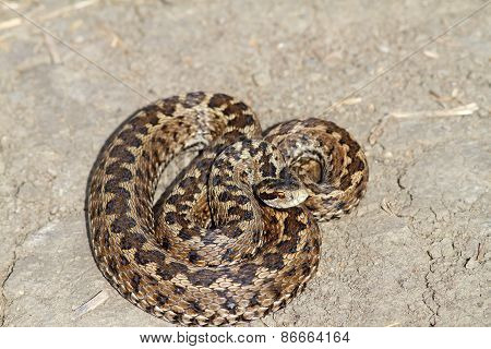 Elusive Hungarian Meadow Viper On The Ground