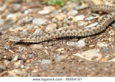 European Horned Viper On Gravel