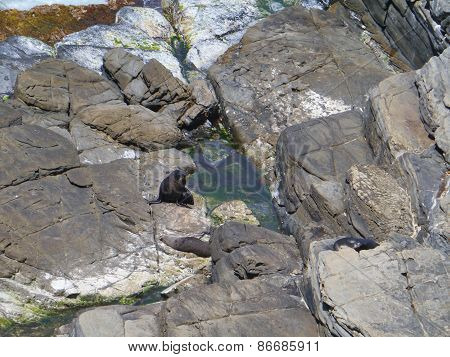 Fur seals on Kangaroo island