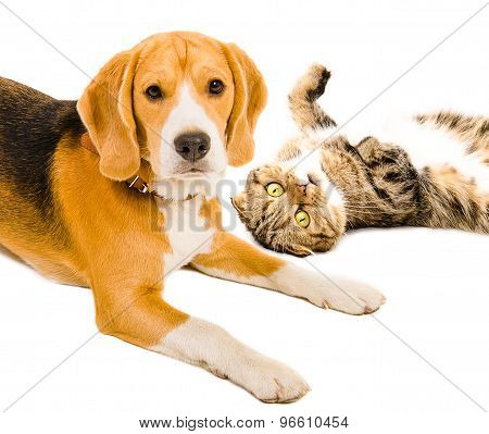 Portrait of a cat Scottish Fold  and Beagle dog