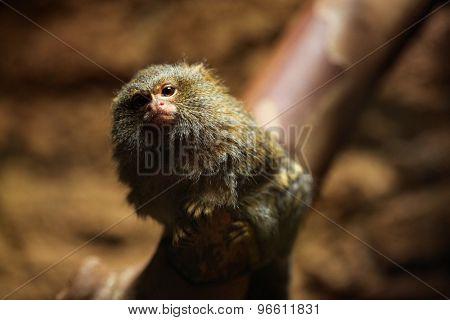 Pygmy marmoset (Cebuella pygmaea). Wildlife animal.
