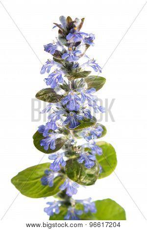 Blue bugle (Ajuga reptans) isolated on white