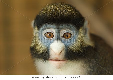 Frontal Portrait of Lesser Spot-Nosed Monkey