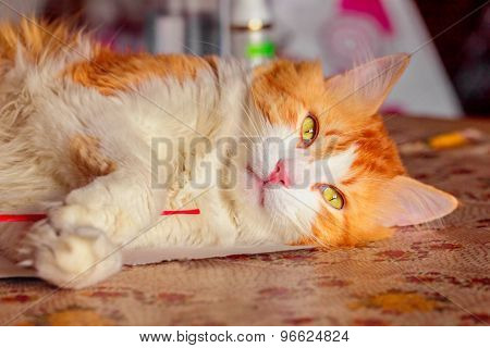 Red Cat With Relaxed Lying On Table