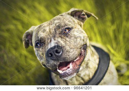 american pitbull terier