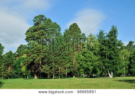 Meadows grass, edges of pine forest. Wild plants and pine forest. Alexandria Park, city Bila Tserkva