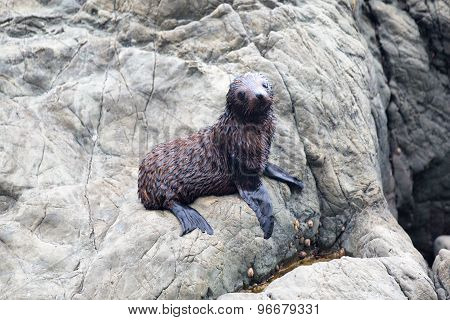 Baby Seal Lying On Rocks