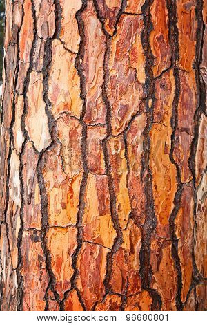 Brown Bark Of Pine Tree