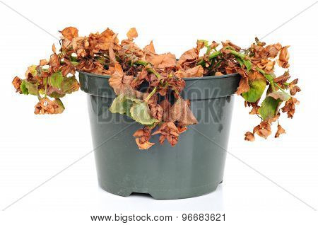Dead And Shriveled Plant, In A Plastic Pot