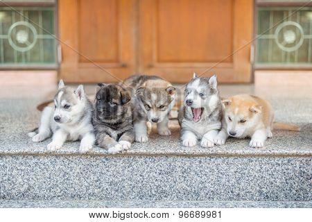 Group Of Siberian Husky Puppies On Floor.