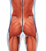 Buttock Muscles Anatomy Illustration . 3D render poster