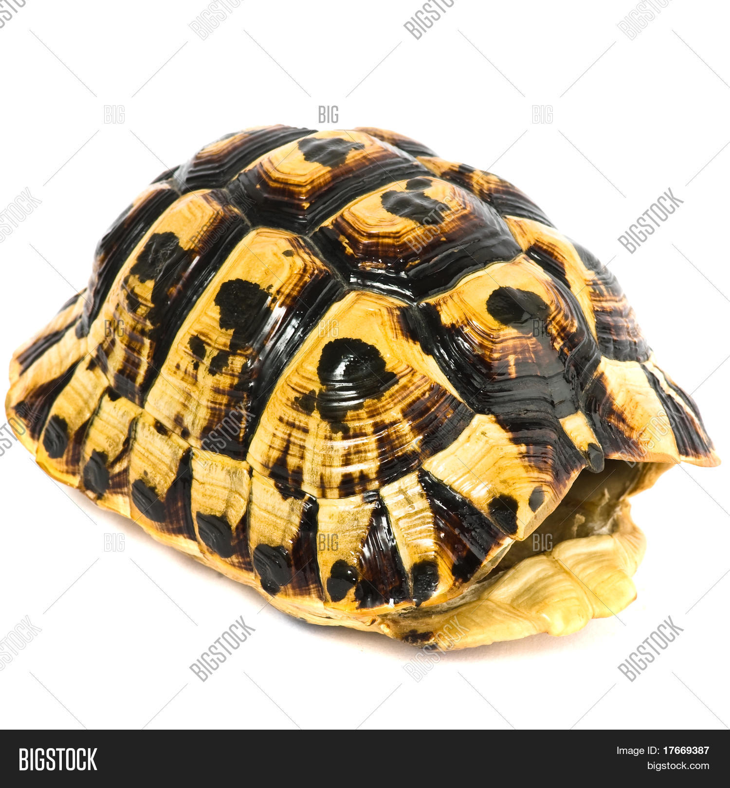 Turtle Shell On White Image & Photo (Free Trial) | Bigstock