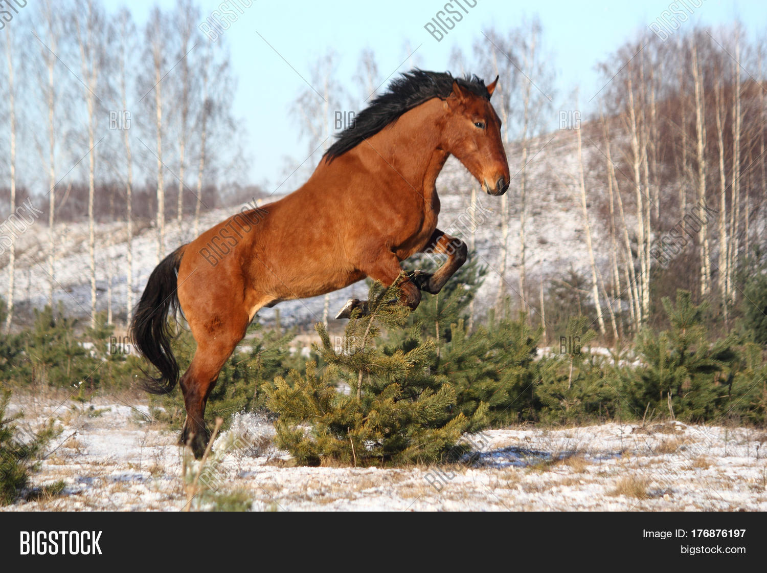 Wild Horse Jumping Image Photo Free Trial Bigstock