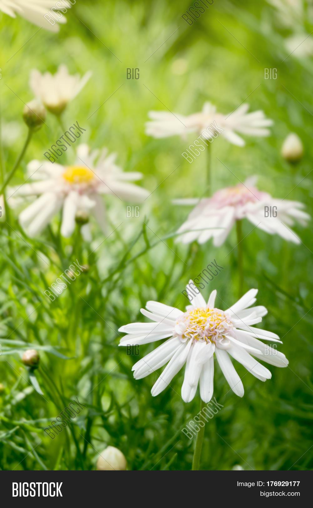 Beautiful White Daisy Image Photo Free Trial Bigstock