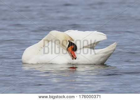 Mute Swan Preening Its Feathers