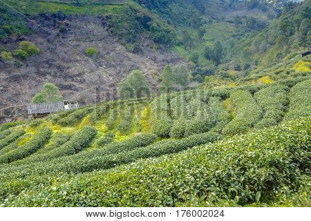Tea Plantation Landscape