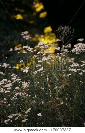 Flowering yarrow, chamomile, grass in the meadow. Sunny summer day on a flowering meadow. achillea millefoliumin the meadow