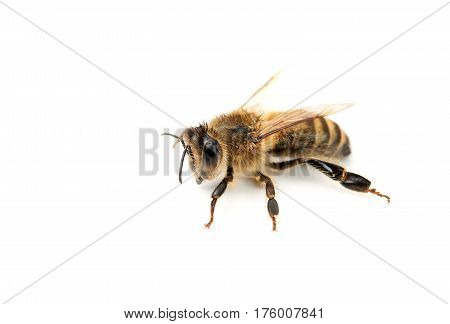 bee isolated on white background. Close up