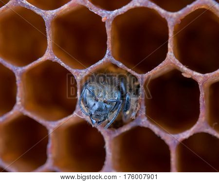 a young bee inside honeycomb. Close up