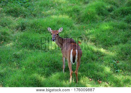 Deer resting among green grass