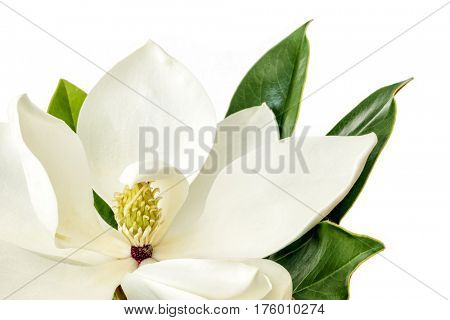 Single Magnolia flower over white background.  Little Gem dwarf variety of magnolia grandiflora.