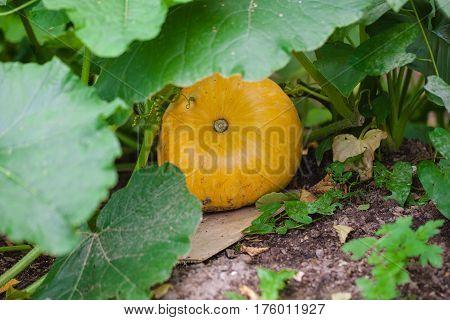 yellow pumpkin growing in the nature garden