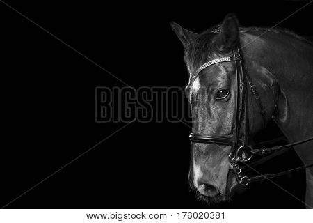 headshot of a horse ready for dressage riding